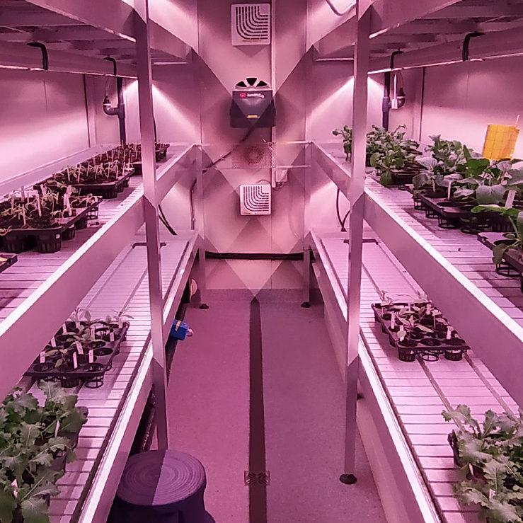 Kerrosviljelykontti, kaksi hyllyä viherkasveja violetissa valaistuksessa.