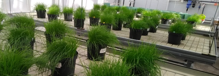 Ruukuissa kasvavia koekasveja.