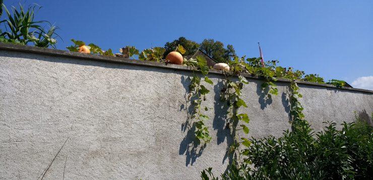 Kasveja betoniseinän päällä