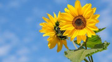 Kaksi kukkivaa auringonkukkaa