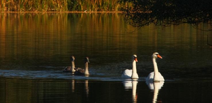 Joutsenet järvellä