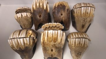 Hevosten hampaita