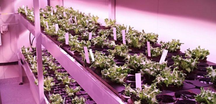 salaatinviljelyä kerrosviljelykontissa