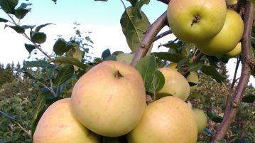 omenat puussa